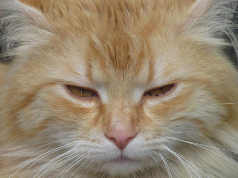 Cat close up protrait. Beige tomcat with yellow amber eyes. Detail of cat face フォト