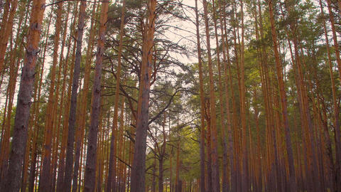 Tilting shot of gloomy forest with tall pine trees Footage