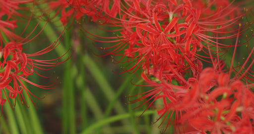 Cluster amaryllis in the park in Kinchakuda close shot right tracking shot Footage
