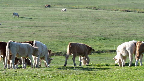 Herd of cows and calves grazing on meadow. Cows on pasture ビデオ