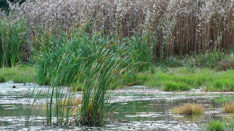 Reed in the wind on the shore of the pond. Dry grass flower blowing in the wind, Archivo