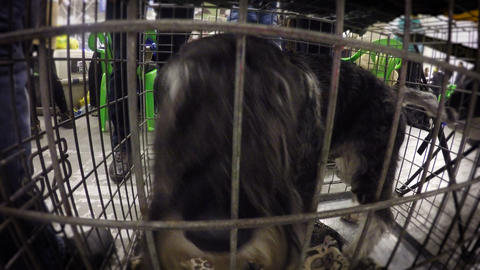 Disappointed schnauzer rushing in cramped cage, wants to set free from captivity Footage