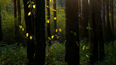 sun rays light bright leaves among tree trunks Footage