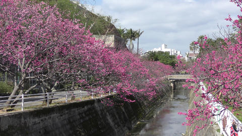 Cherry blossoms in the park in Okinawa, Live Action