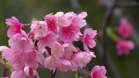 Cherry blossoms in the park in Okinawa ライブ動画