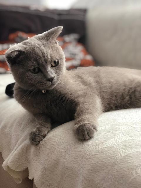 British scottish fold cat フォト