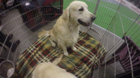 Cute puppies of retriever obediently behaving to please visitors of kennel Footage