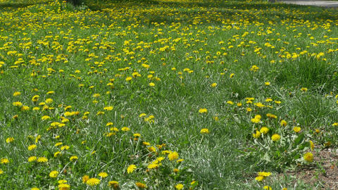 Field of Dandelions in Park Footage