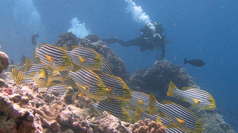 Underwater videographer, shooting colorful fish swwetlips. Diving on the reefs o Live Action