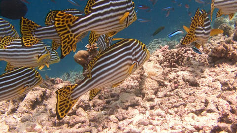 A flock of colorful fish sweetlips. Diving on the reefs of the Maldives archipel Footage