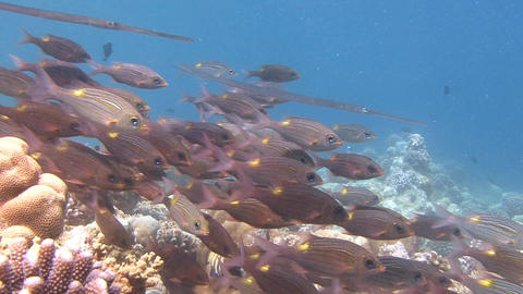 A flock of colorful tropical fish. Diving on the reefs of the Maldives archipela Live Action