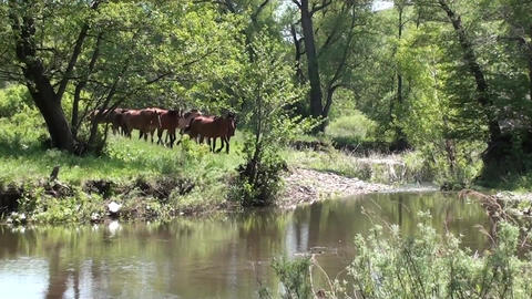 Wild horses coming into the water Stock Video Footage