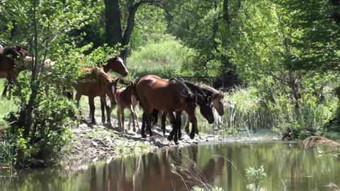 Wild horses coming into the water Footage