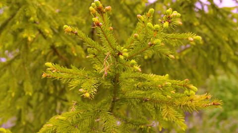 Green branches fir tree in summer forest close up. Spruce tree in conifer forest Live Action