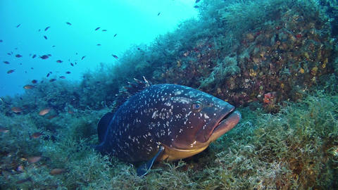 Nature underwater - Big Grouper fish in a reef - Marine sea life Live Action