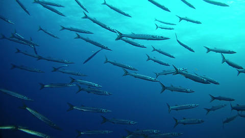 Scuba diving with a big school of barracudas in dark blue sea water GIF