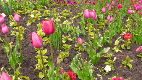 Close up blooming tulips in summer flowerbed in city park close up Footage