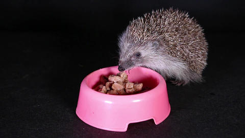 Wild hungry hedgehog eating domestic pet food Footage
