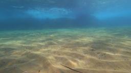 Sandy underwater with a cornetfish Archivo