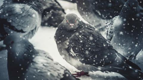 Gray pigeon dove sit on the snow on cold frosty day in winter during snowfall Footage