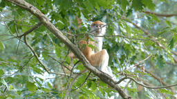 The patas monkey on a tree branch. Erythrocebus patas Live Action