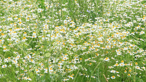 White chamomiles blossom in summer field Live Action