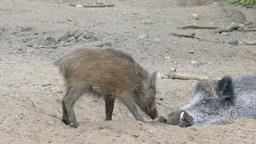 The wild young boar (Sus scrofa) and adult boar in a den Live Action