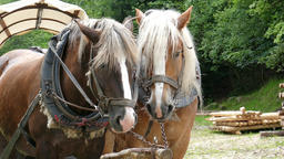 Working horses. Working animals. Closeup shot Footage