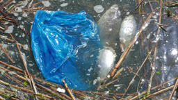 Water pollution. Plastic bag and dead fish Footage
