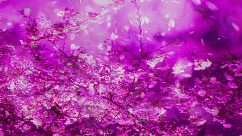 Cherry Blossoms 2378634j Stock Video Footage