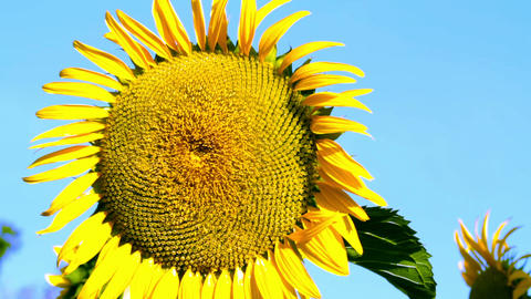 Sunflower Stock Video Footage