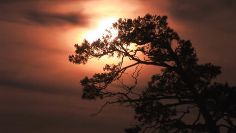 Pine Meets Dawn stock footage
