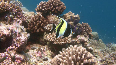 Fish Moorish idol. Diving on the reefs of the Maldives archipelago Footage