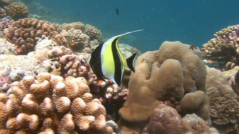 Fish Moorish idol. Diving on the reefs of the Maldives archipelago Live Action