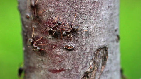 Ants motion on the tree branch Live Action