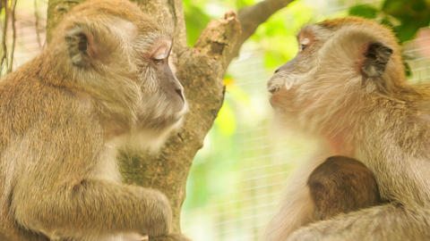 Monkey Sits Scrubs Friend on Tree in Tropical Park Footage