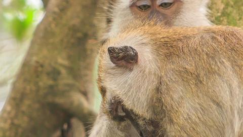 Monkey Sits Scrubs Friend Head by Tree in Tropical Park Footage