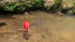 Bright Scarlet Ibis Walks in Shallow Water by Stones Footage