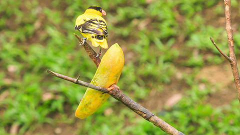 Closeup Backside Male Goldfinch Sits on Branch Turns Around Footage