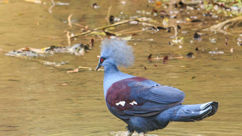 Closeup Blue Dove with Fluffy Crest Pecks Food in Water Footage