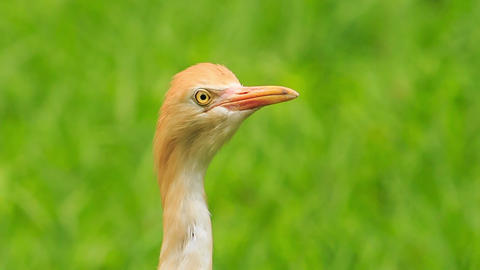 Closeup Small Orange Cattle Egret Turn Head in Park Footage