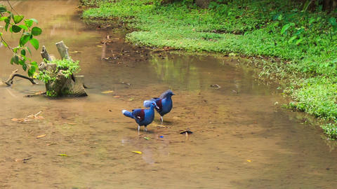 Blue Dove with Fluffy Crests Walk in Water Peck Food Footage