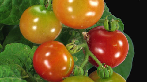 Time-lapse of growing and ripening tomato in RGB + ALPHA matte format Footage