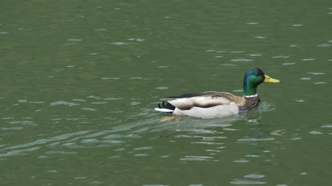 Swimming Duck on Pond Footage