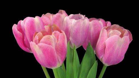 Time-lapse of opening pink tulips bouquet in RGB + ALPHA matte format Footage