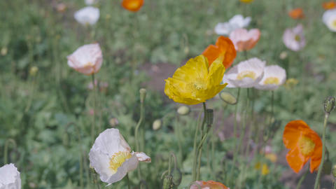 Iceland Poppy Flowers,at Showa Memorial Park,Tokyo,Japan,Filmed in 4K Footage
