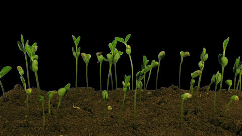 Time-lapse of growing soybeans in RGB + ALPHA matte format Footage