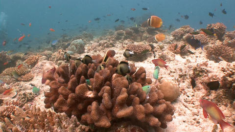 Picturesque colorful coral reef. Diving on the reefs of the Maldives archipelago Live Action