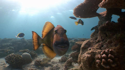 Worried trigger fish boldly attacks the videographer. Their powerful teeth of a Footage