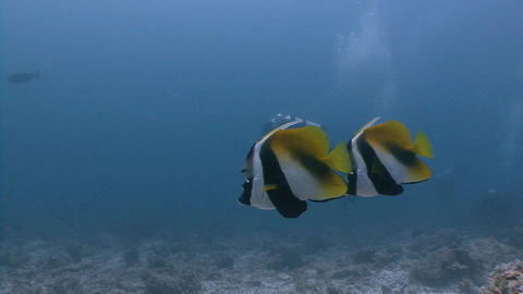 Pair of tropical fish accompany the divers. Diving on the reefs of the Maldives Live Action